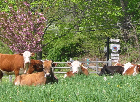 Cherry Grove Cows
