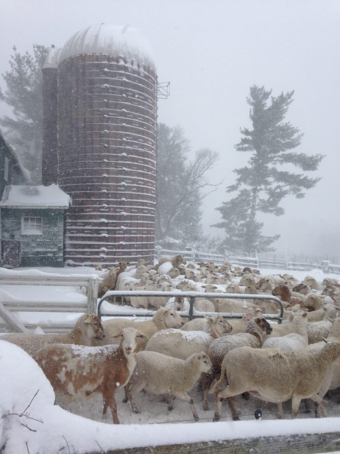 Snowfall with sheep