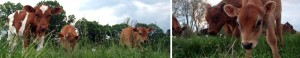 featured-cows