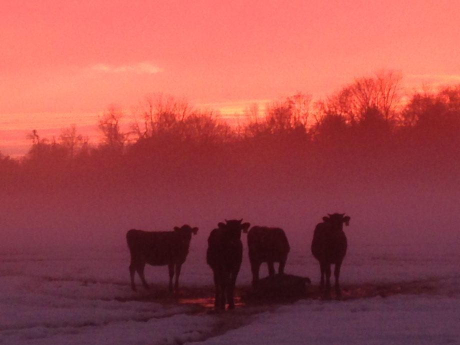 red-sunset-w-cows